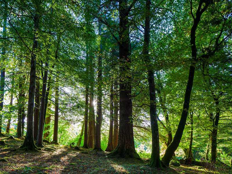 A thin place where the fairy realm can easily be connected with - here beech forests in the Killarney Valley