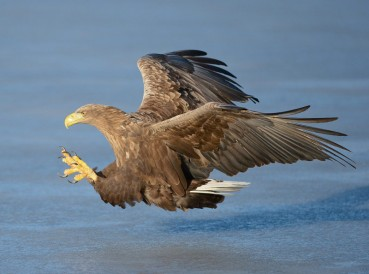 The White-tailed Sea Eagle was recently reintroduced to Killarney National Park
