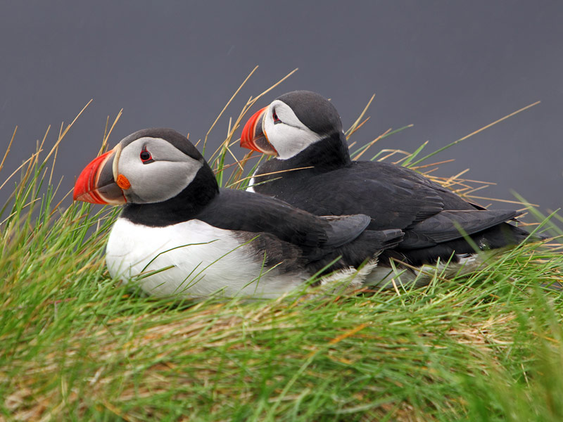 Puffins resting on Skellig Michael
