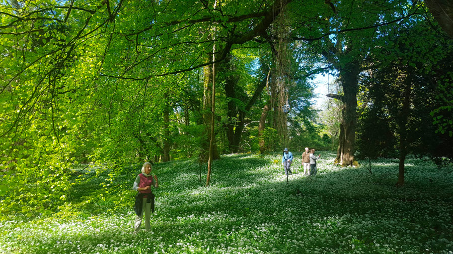 Ancient forests floored in wild garlic near Killarney, County Kerry