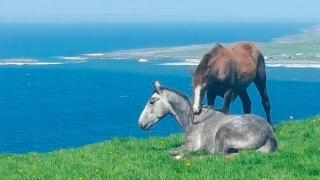 Connemara Ponies