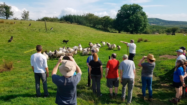 Gathering with shepherd Neillie O'Leary, County Cork