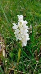 Rare orchid, Aran Island