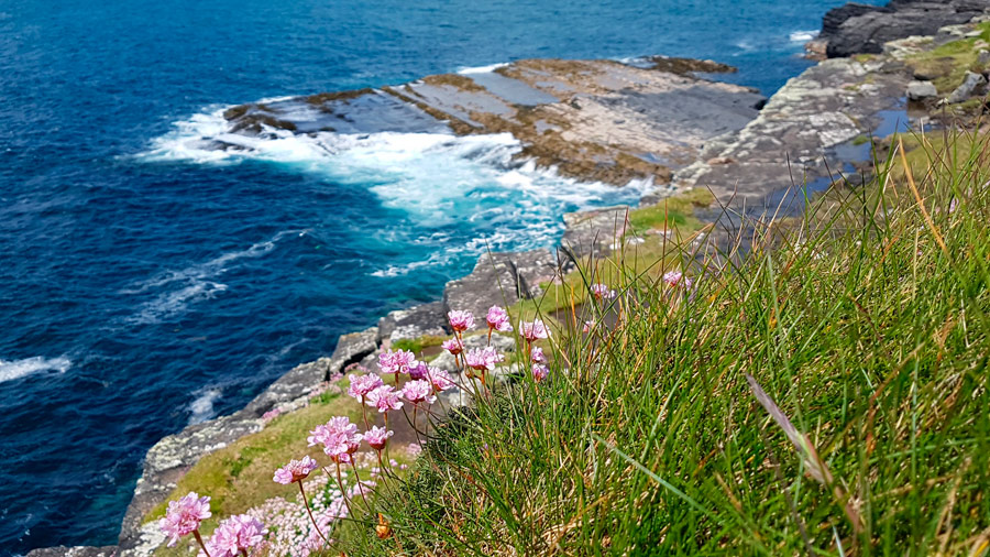 Sea Pinks, Cliffs of Moher