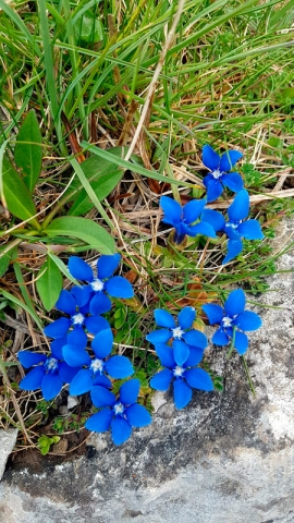 Spring Gentians on the limestone of the Burren